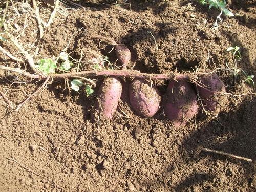 サツマイモ堀りました。_b0137932_1701112.jpg