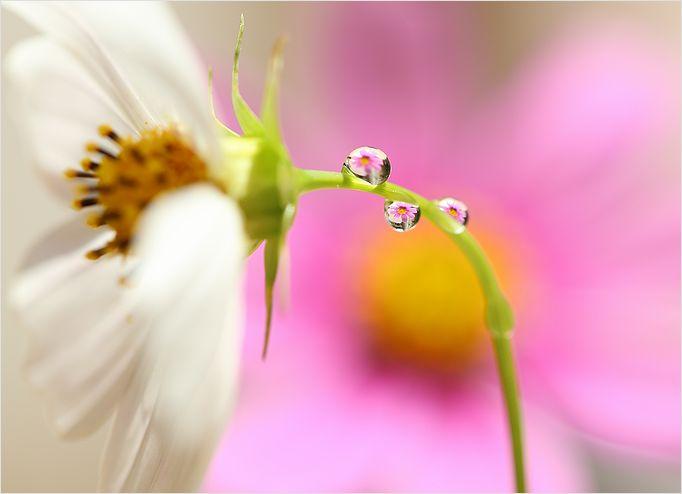 秋桜 雫 ④_a0256349_1945410.jpg