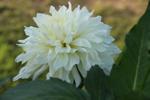 咲いてます!川西ダリヤ園・・・80_c0075701_5502517.jpg