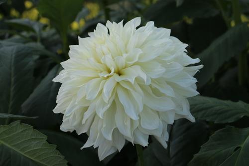 咲いてます!川西ダリヤ園・・・80_c0075701_5503328.jpg