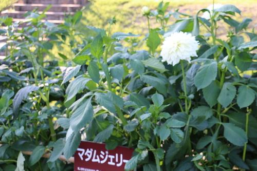 咲いてます!川西ダリヤ園・・・80_c0075701_5504085.jpg