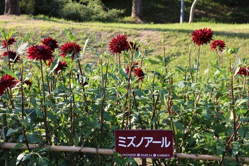 咲いてます!川西ダリヤ園・・・80_c0075701_551822.jpg