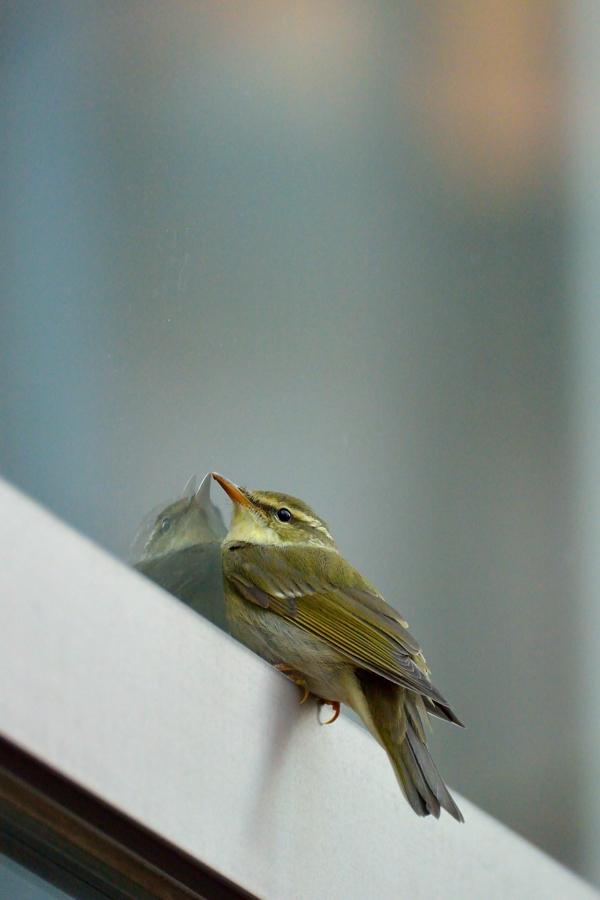 街中の野鳥(通勤撮影)_d0148541_22484860.jpg