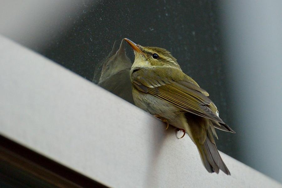 街中の野鳥(通勤撮影)_d0148541_22485457.jpg