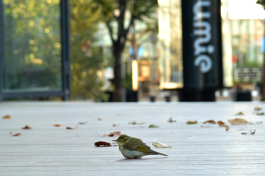 街中の野鳥(通勤撮影)_d0148541_22485924.jpg