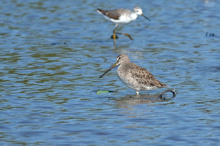 オオハシシギ(Long-billed Dowitcher)~2015.10_b0148352_8331655.jpg