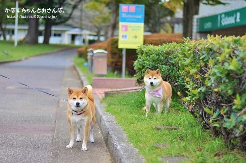 柴犬って_a0126590_04073131.jpg