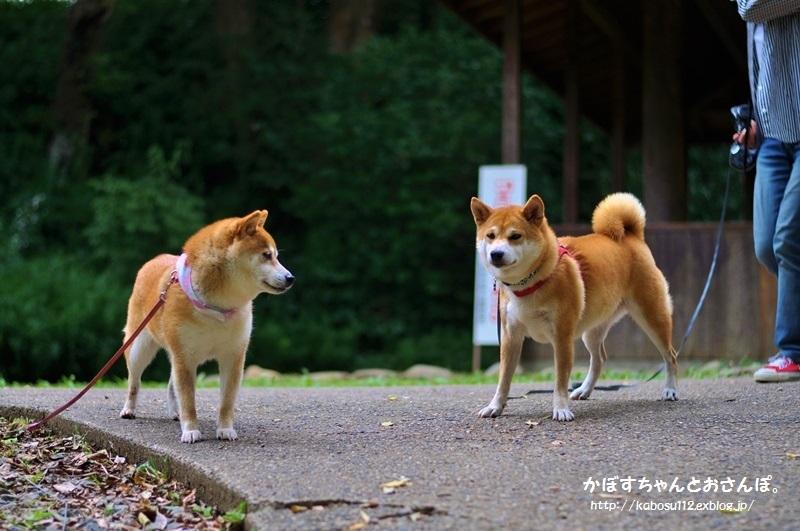 柴犬って_a0126590_04083579.jpg
