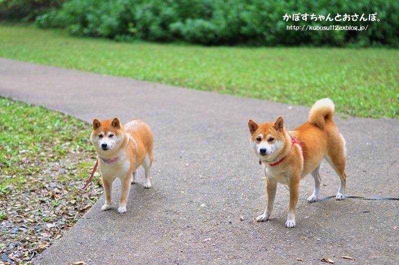 柴犬って_a0126590_04085276.jpg