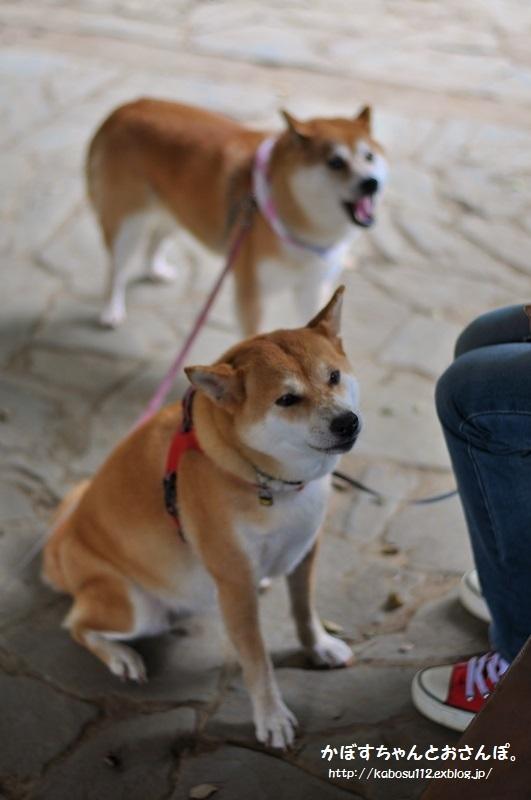 柴犬って_a0126590_04095401.jpg