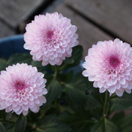 可愛らしい菊もあるんですね。_a0292194_16191496.jpg