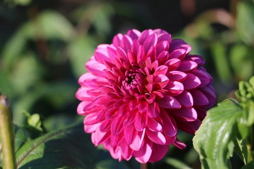 咲いてます!川西ダリヤ園・・・83_c0075701_6464586.jpg