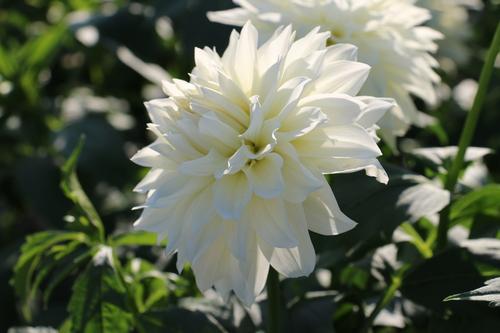 咲いてます!川西ダリヤ園・・・83_c0075701_6471435.jpg