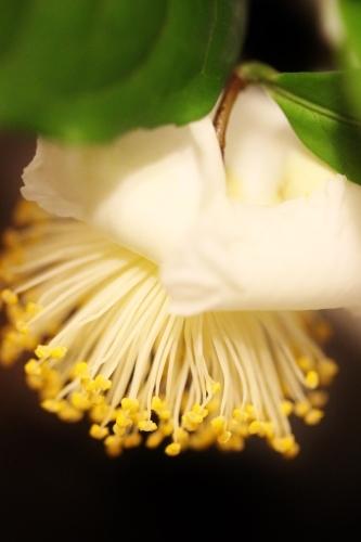 茶の花が、_b0220318_21300882.jpg