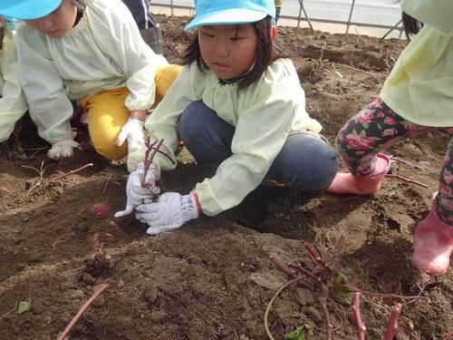 ゆり組さん さつま芋掘りに行ってきました!_d0166047_1135847.jpg