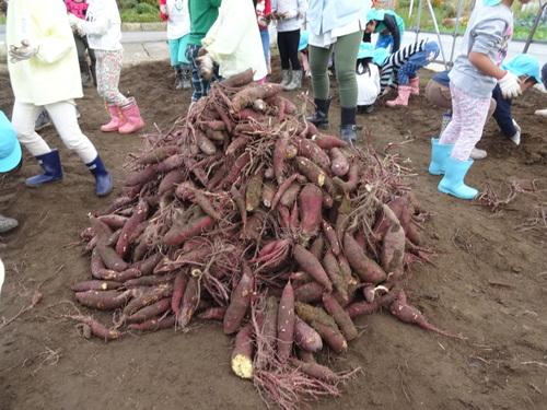 ゆり組さん さつま芋掘りに行ってきました!_d0166047_11412662.jpg
