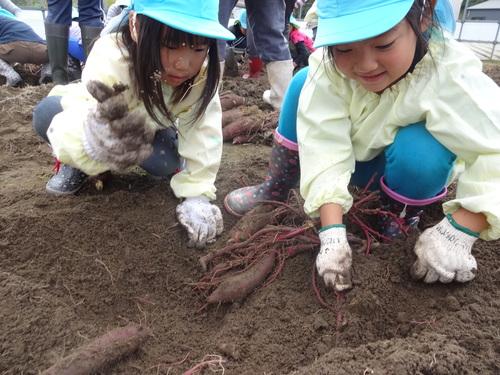 ゆり組さん さつま芋掘りに行ってきました!_d0166047_1141663.jpg