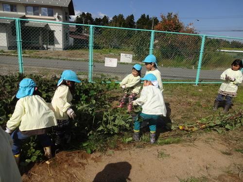 ゆり組さん 保育園のさつま芋掘りもやりました!_d0166047_15491336.jpg