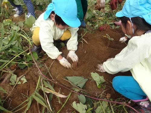 ゆり組さん 保育園のさつま芋掘りもやりました!_d0166047_15541298.jpg