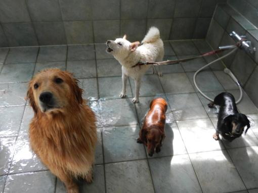 洗濯4・・・・日本を!!日本犬を洗濯したくそうろう・・・_d0161933_21591393.jpg