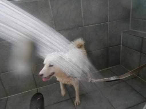洗濯4・・・・日本を!!日本犬を洗濯したくそうろう・・・_d0161933_21595305.jpg