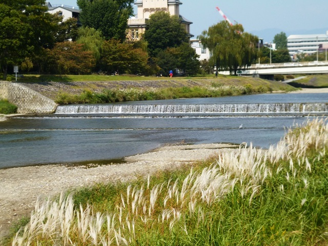 鴨川のすすき_e0230141_19305973.jpg
