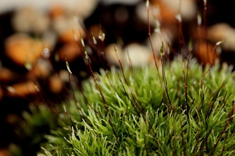 明日香村の秋 りんどうの花 苔の花_b0165872_18153144.jpg