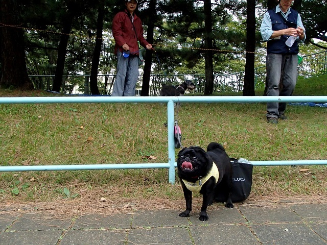 黒パグ チャッピー と トンボ (防災訓練 編)_d0105967_18123694.jpg