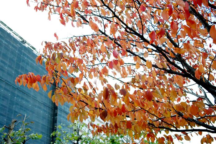 久しぶりのリハビリ散歩で見た桜の紅葉_c0182775_17534060.jpg