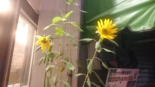 「季節外れのひまわり」_a0075684_0582270.jpg