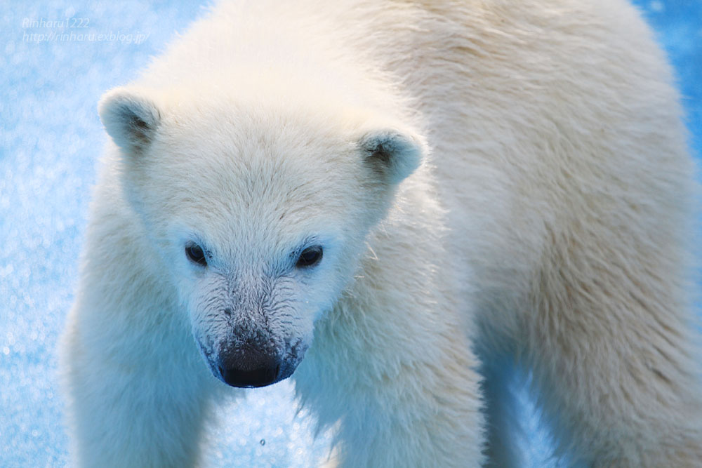 2015.4.30 円山動物園☆ホッキョクグマのララとリラ<その4>【Polar bear】_f0250322_2062675.jpg
