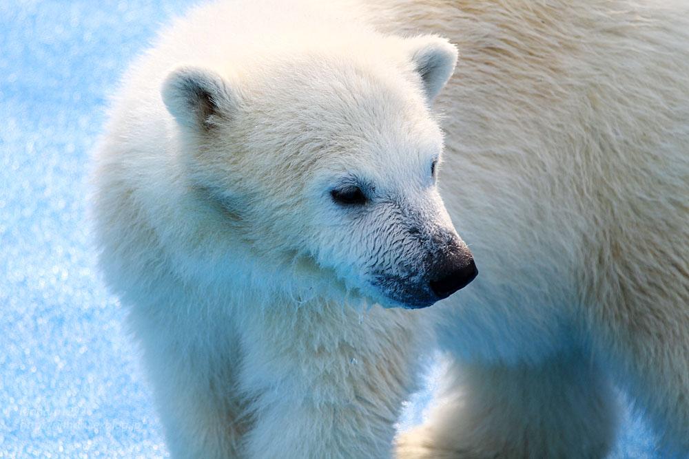 2015.4.30 円山動物園☆ホッキョクグマのララとリラ<その4>【Polar bear】_f0250322_2062993.jpg