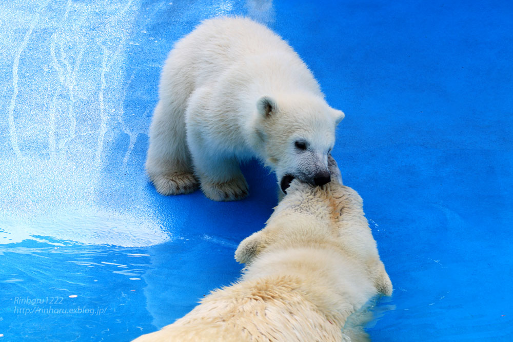 2015.4.30 円山動物園☆ホッキョクグマのララとリラ<その4>【Polar bear】_f0250322_2064447.jpg