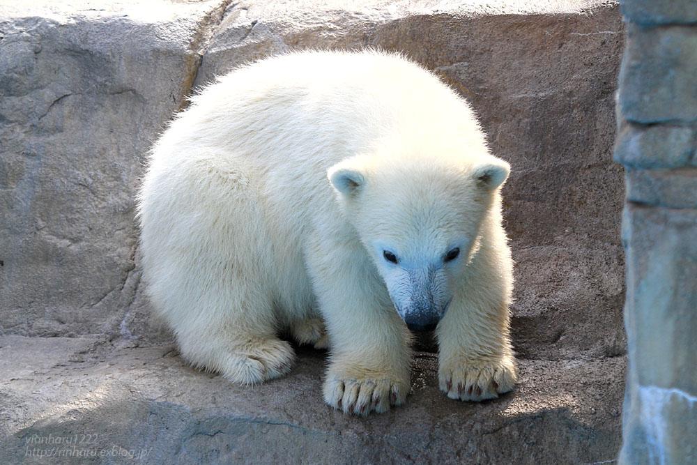 2015.4.30 円山動物園☆ホッキョクグマのララとリラ<その4>【Polar bear】_f0250322_2064769.jpg
