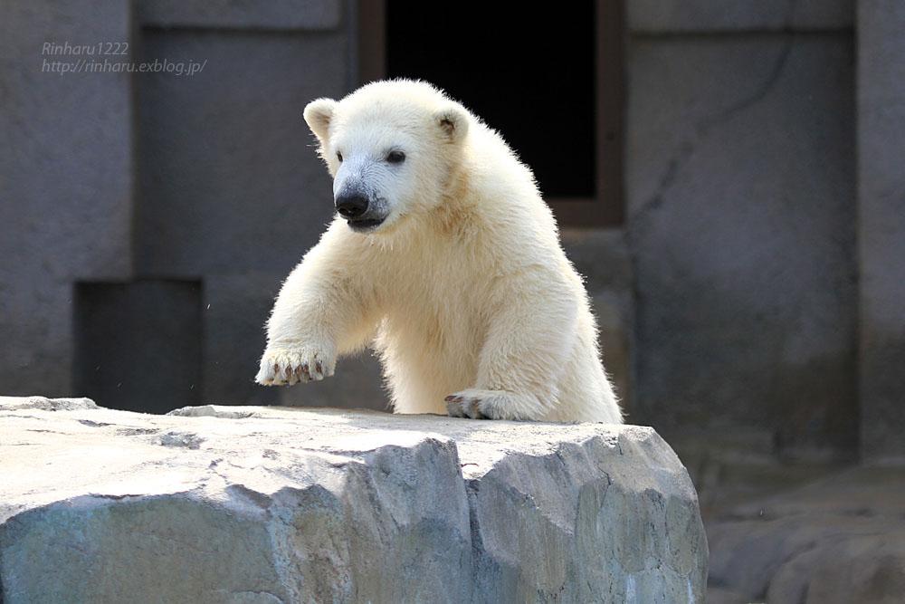2015.4.30 円山動物園☆ホッキョクグマのララとリラ<その4>【Polar bear】_f0250322_2065086.jpg