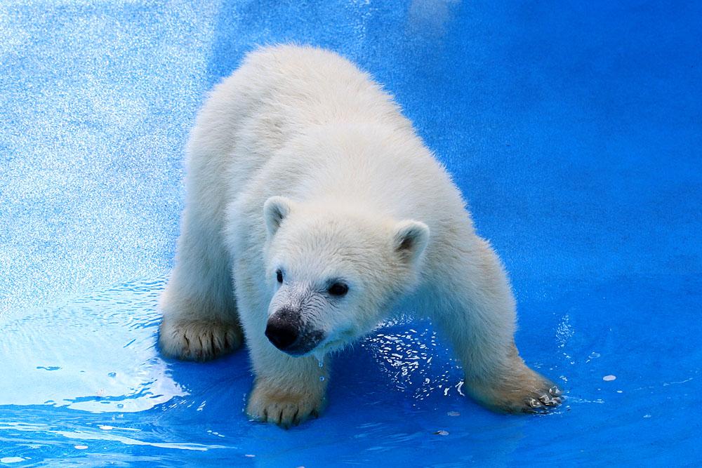 2015.4.30 円山動物園☆ホッキョクグマのララとリラ<その4>【Polar bear】_f0250322_2065399.jpg