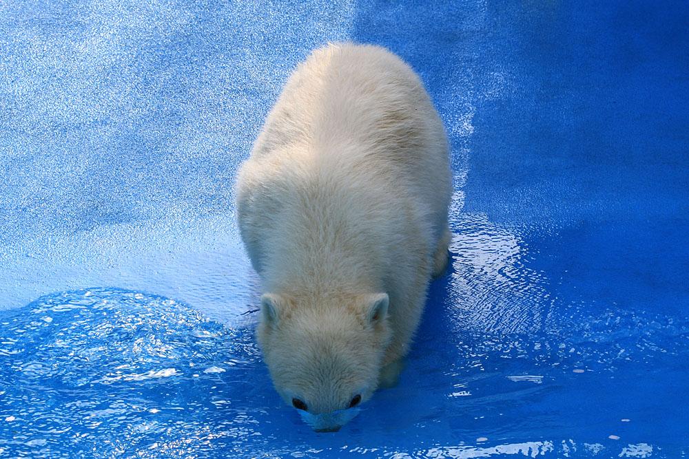 2015.4.30 円山動物園☆ホッキョクグマのララとリラ<その4>【Polar bear】_f0250322_2065750.jpg