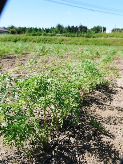 完全無農薬・無化学肥料 菊池水源里山ニンジン!11月下旬より出荷いたします!_a0254656_16452547.jpg