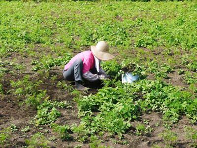 完全無農薬・無化学肥料 菊池水源里山ニンジン!11月下旬より出荷いたします!_a0254656_1655693.jpg