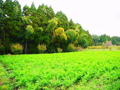 完全無農薬・無化学肥料 菊池水源里山ニンジン!11月下旬より出荷いたします!_a0254656_16594341.jpg