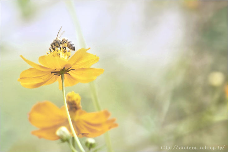 Yellow cosmos_e0011137_23131793.jpg