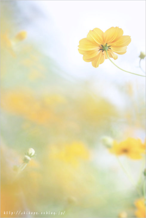 Yellow cosmos_e0011137_23214613.jpg