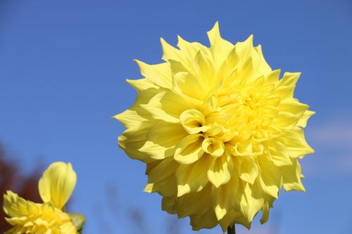 咲いてます!川西ダリヤ園・・・98_c0075701_8411173.jpg