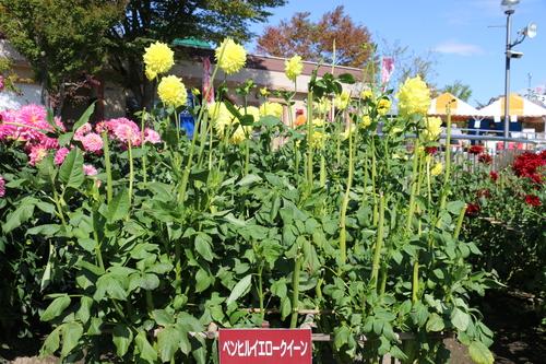 咲いてます!川西ダリヤ園・・・98_c0075701_8412240.jpg