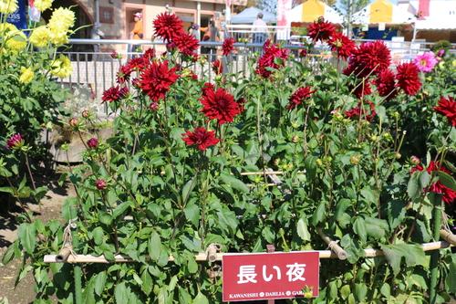 咲いてます!川西ダリヤ園・・・98_c0075701_841660.jpg