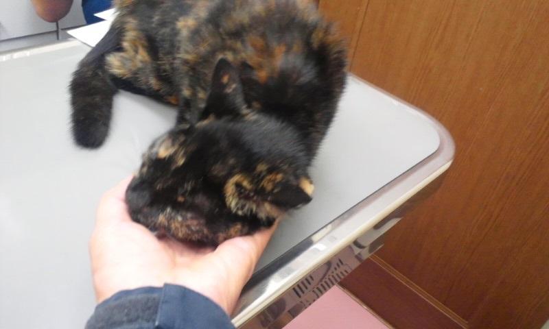 【移動先募集】センター(支所)収容の猫たち(10/2訪問)_f0242002_10171610.jpg