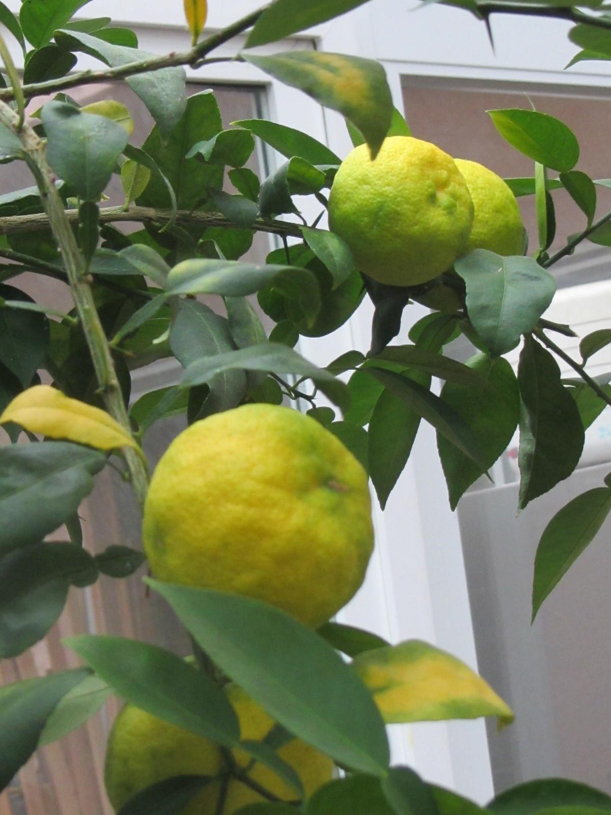 柚子が黄色くなりかけてます。_a0173527_02111758.jpg