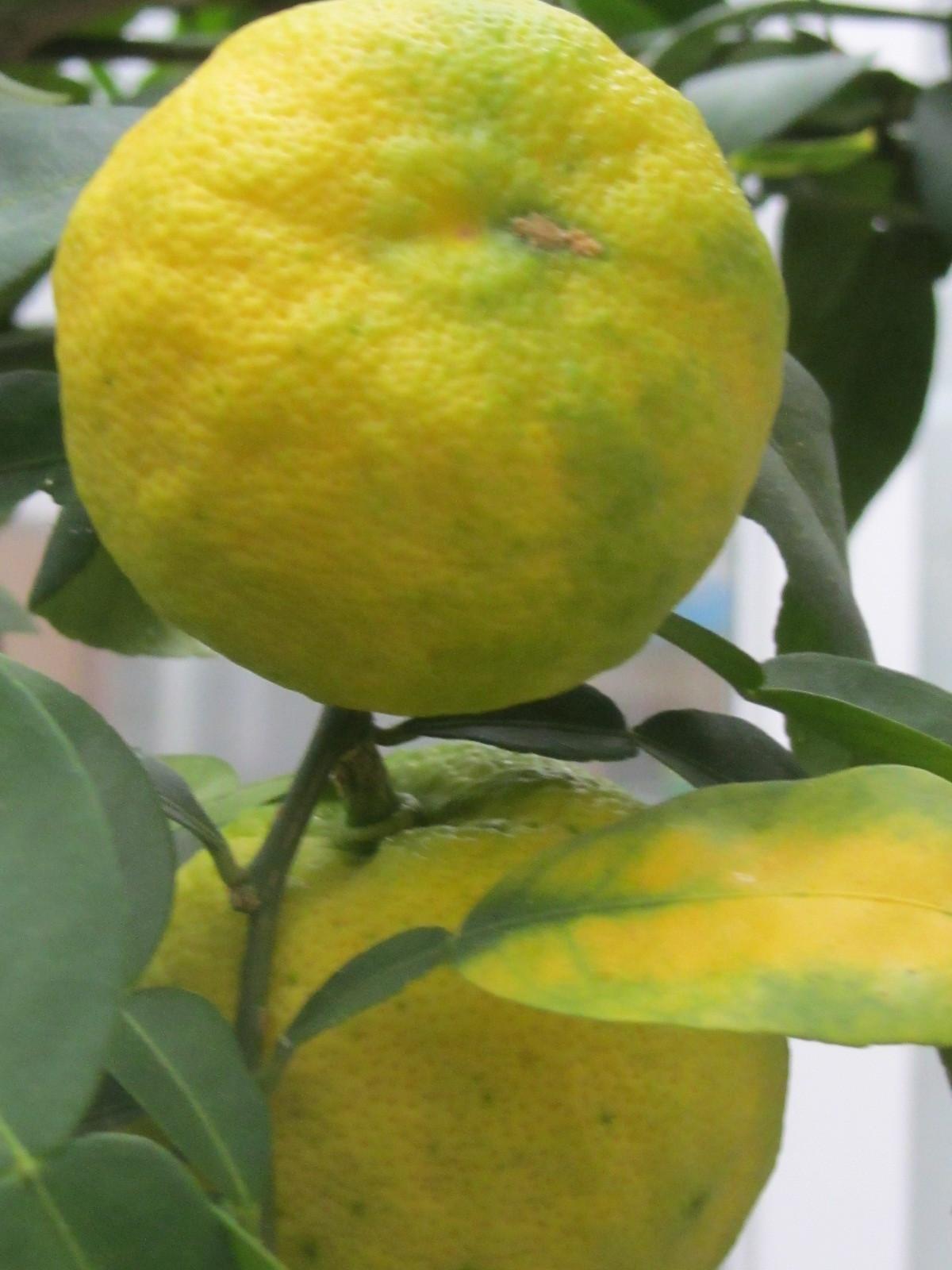 柚子が黄色くなりかけてます。_a0173527_02115835.jpg