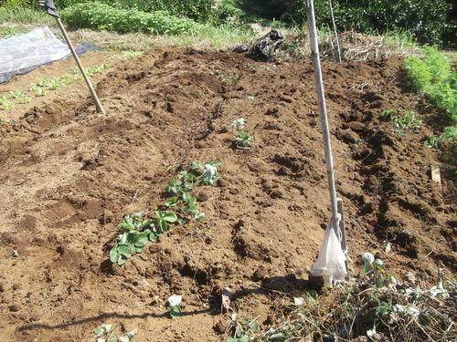 イチゴ苗の定植...小動物が喜ぶ!_b0137932_15442842.jpg
