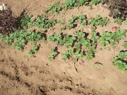 イチゴ苗の定植...小動物が喜ぶ!_b0137932_15445133.jpg